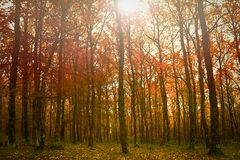 Golden fall autumnal forest. Colorful gold autumnal forest in the mythical Mount Olympus stock photos