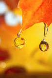 Golden fall drops. Stock Image
