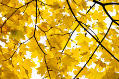 Golden Fall Foliage Autumn Yellow Maple Tree Stock Photography