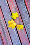 Golden Fall Foliage Autumn Yellow Maple Tree Royalty Free Stock Photography