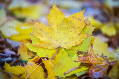 Golden Fall Foliage Autumn Yellow Maple Tree Royalty Free Stock Images