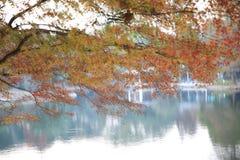 Golden Fall Foliage Autumn Yellow adn red Maple Tree Stock Photos