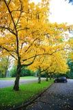 Golden Fall Foliage Autumn Yellow Tree Royalty Free Stock Photography