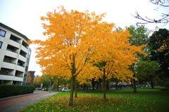 Golden Fall Foliage Autumn Yellow Tree Stock Images