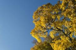 Golden fall foliage Stock Photo