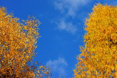 Golden tree leaves at blue sky Stock Photo