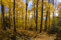 Golden fall forest. A shot taken in a forest during autumn Royalty Free Stock Photos