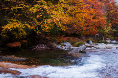 Golden fall forest and stream Stock Images