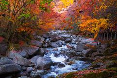 Golden fall forest and stream. In the autumn, a stream snakely across in golden fall forest with blowing down red autumn leaves. Which was in Guangwu(light and