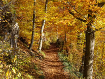 Trail in golden fall forest landscape. Hiking trail in a golden colored forest at fall. Nature in Swabian Alps, Germany. Indian summer Royalty Free Stock Image