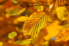 Golden beech leaves Indian summer. The golden-bronze coloring of beech leaves - radiant in the sunlight. Indian summer magic in German woods at fall Stock Image