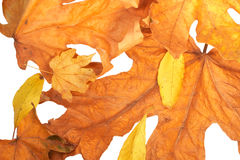 Golden fall leaves Royalty Free Stock Images