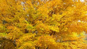 Golden Fall Leaves Royalty Free Stock Photography