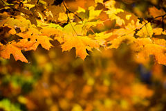 Golden Fall Leaves Royalty Free Stock Photo
