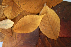 Golden fall leaves Stock Photography