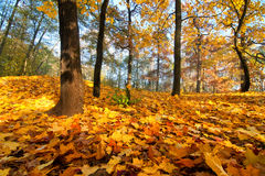 Golden fall leaves Stock Photo