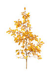 Golden fall oak Stock Images
