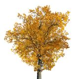Bright gold old large oak isolated on white Stock Photos