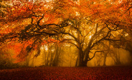 Golden Fall season forest royalty free stock photography