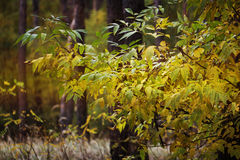 Golden Fall season forest. yellow autumn tree in a forest Royalty Free Stock Photos