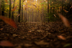 Golden fall trail with autumn leaves falling. Stock Image
