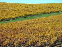 Golden Fall Vineyard Royalty Free Stock Photo