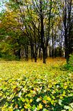 Golden fallen leaves on the land. Royalty Free Stock Image