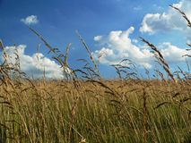 Golden Farm Field. Farm field with wild grasses growing, low perspective looking up at bright sunny sky and clouds Stock Image