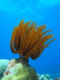 Golden Feather Star Stock Photography
