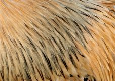 Golden Feathers Stock Images