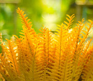 Golden fern Royalty Free Stock Image