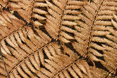 Golden fern leaves royalty free stock image