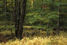 Golden Ferns Stock Images