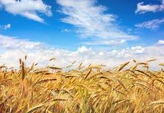 Golden field Stock Photos