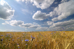 Golden field stock image