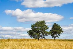 Golden field. Pine-tree on yellow field. Blue sky. Clouds Royalty Free Stock Photography