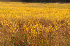 Golden Field. In the Autumn in New England with light illuminating the field Stock Images
