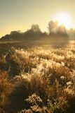 Golden field. In a misty morning field Royalty Free Stock Image