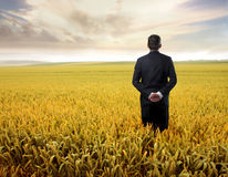 Golden field Stock Photos