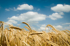 Golden Field royalty free stock image