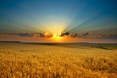 Free Golden Field Royalty Free Stock Photos - 5956138
