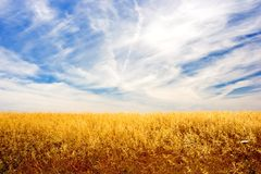 Golden Field. Golden wheat field and sky stock image