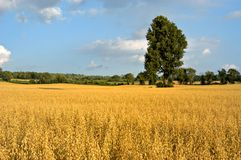 Golden Field. Towering tree surrounded by golden oat field and blue sky in the summer, horizontal Royalty Free Stock Photo