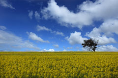 Golden field of canola flower Stock Photo