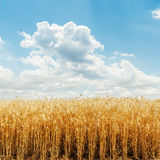 Golden field and cloudy sky Royalty Free Stock Photo