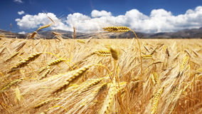 Golden field Stock Photo