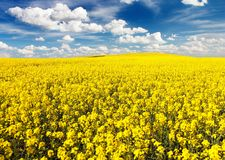 Golden field of flowering rapeseed with beautiful clouds Stock Image