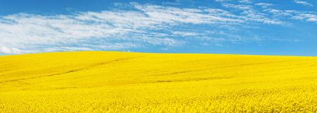 Golden field of flowering rapeseed with beautiful clouds Stock Photography