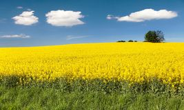 Golden field of flowering rapeseed with beautiful clouds Royalty Free Stock Image