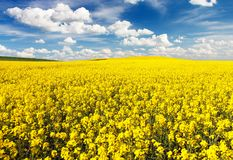Golden field of flowering rapeseed with beautiful clouds Royalty Free Stock Photography